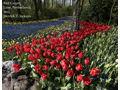 Red Carpet, Lisse, Netherlands by Derrick Jackson