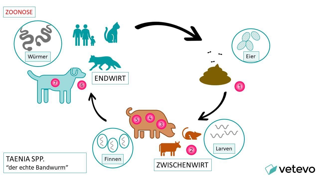 Grafik - Übertragung von Taenia von Tier zu Mensch