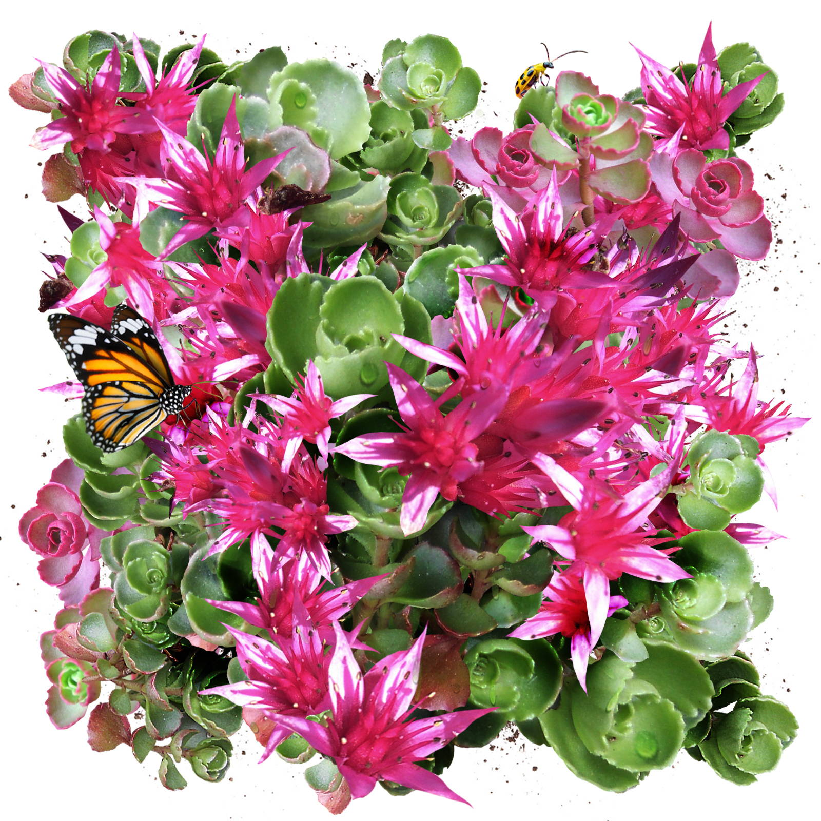 Salvia Seeds
