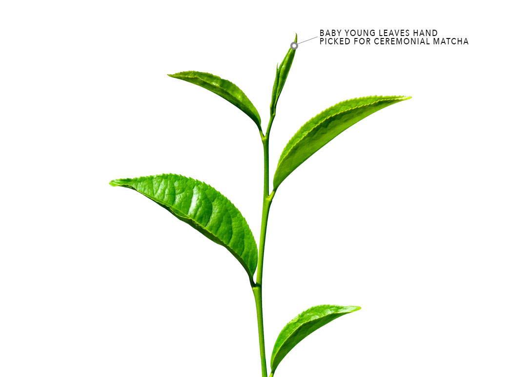 camellia sinensis green tea plant