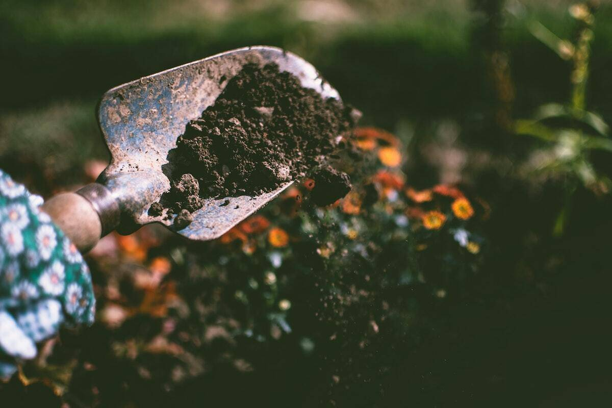 Spade lifting soil demonstrating the importance soil quality has on the flavour of wine.