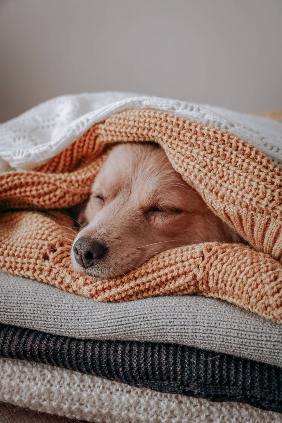 Dog in a pile of blankets - Photo by Sdf Rf on Unsplash