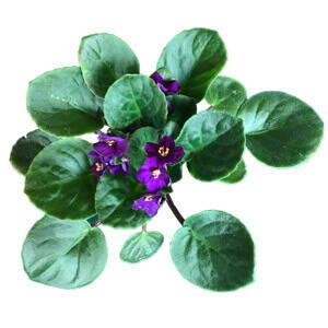 African Violet Fertilizer Care