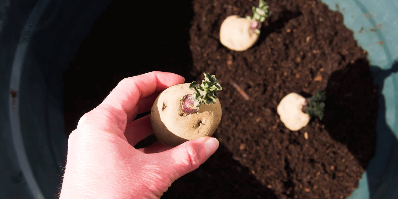 A hand holding a sprouted potato above a container garden with other potato sprouts poking out of the soil. The hand casts a shadow in the bright light.