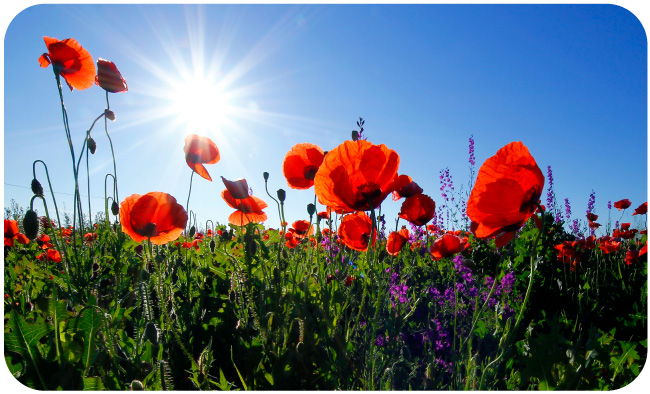 Field of organic and wild poppies