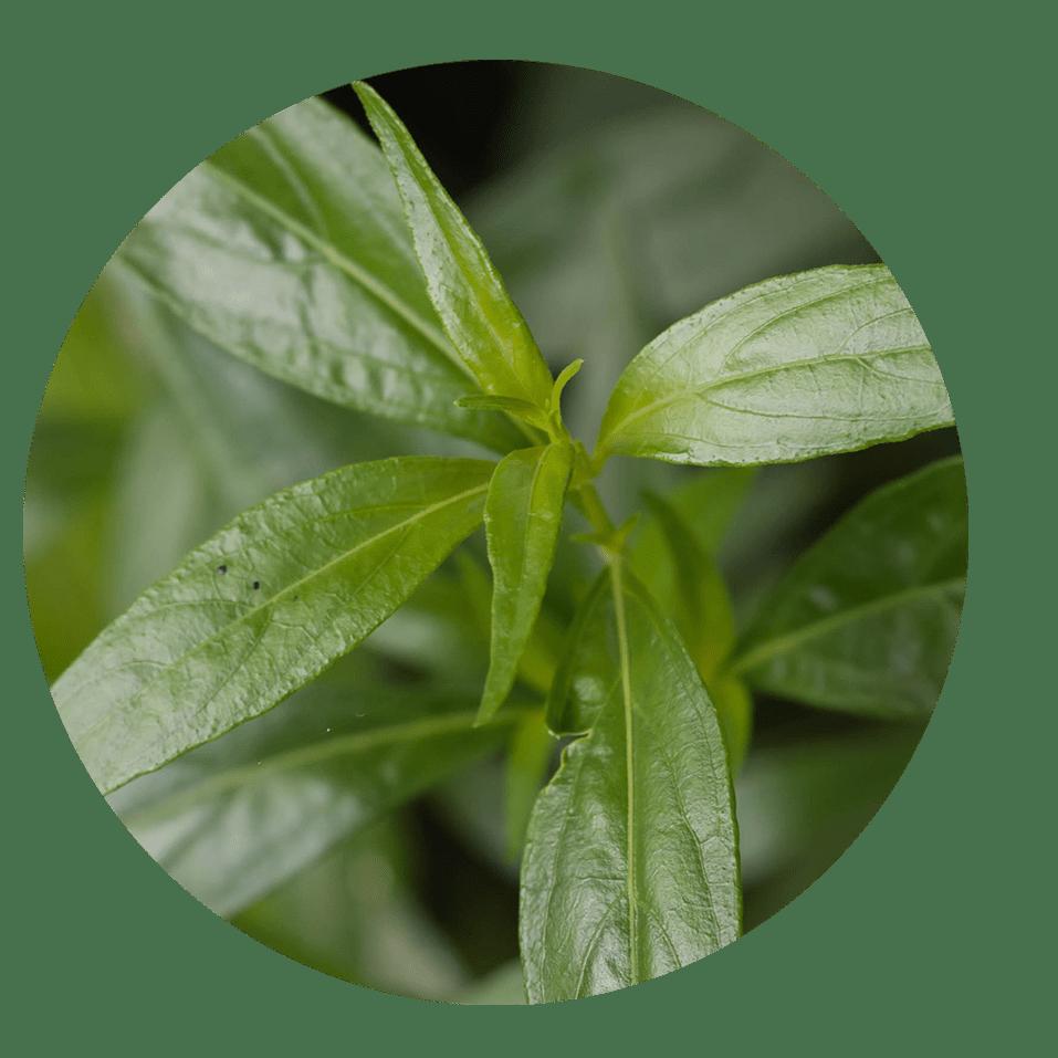 swertia chirata medicinal uses | Dendera Naturally