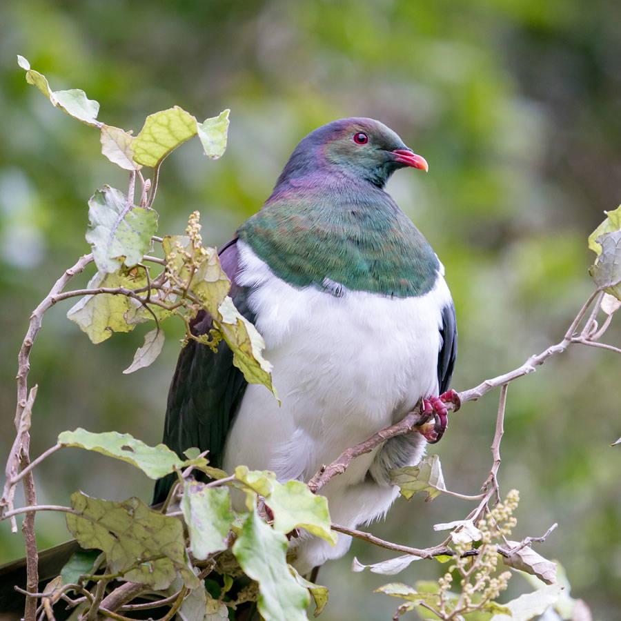 Topflite premium bird feed for kererū