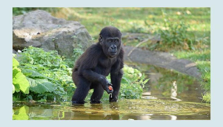 zoo krefeld baby gorilla
