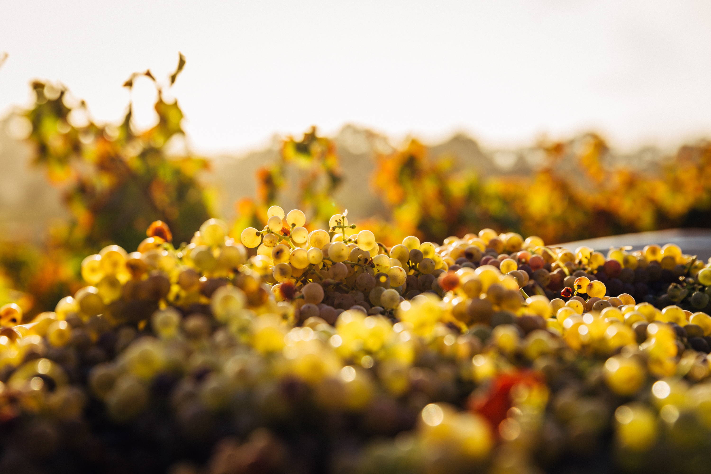 An overview of red and white grapes becoming fainter in the distance.