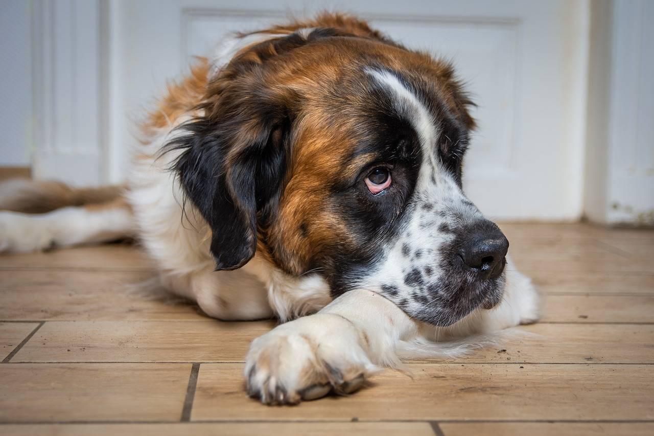 Zwingerhusten - lange Ansteckungsgefahr für Hunde