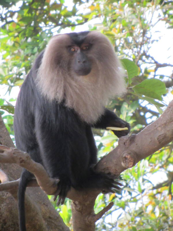 Lion Tailed Macaque Western Ghats India
