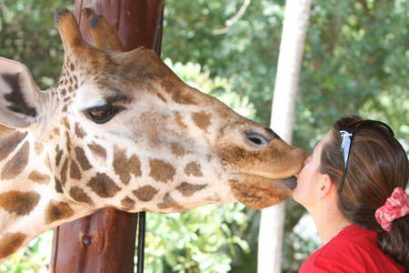 Meet a Friendly Giant at the Giraffe Centre
