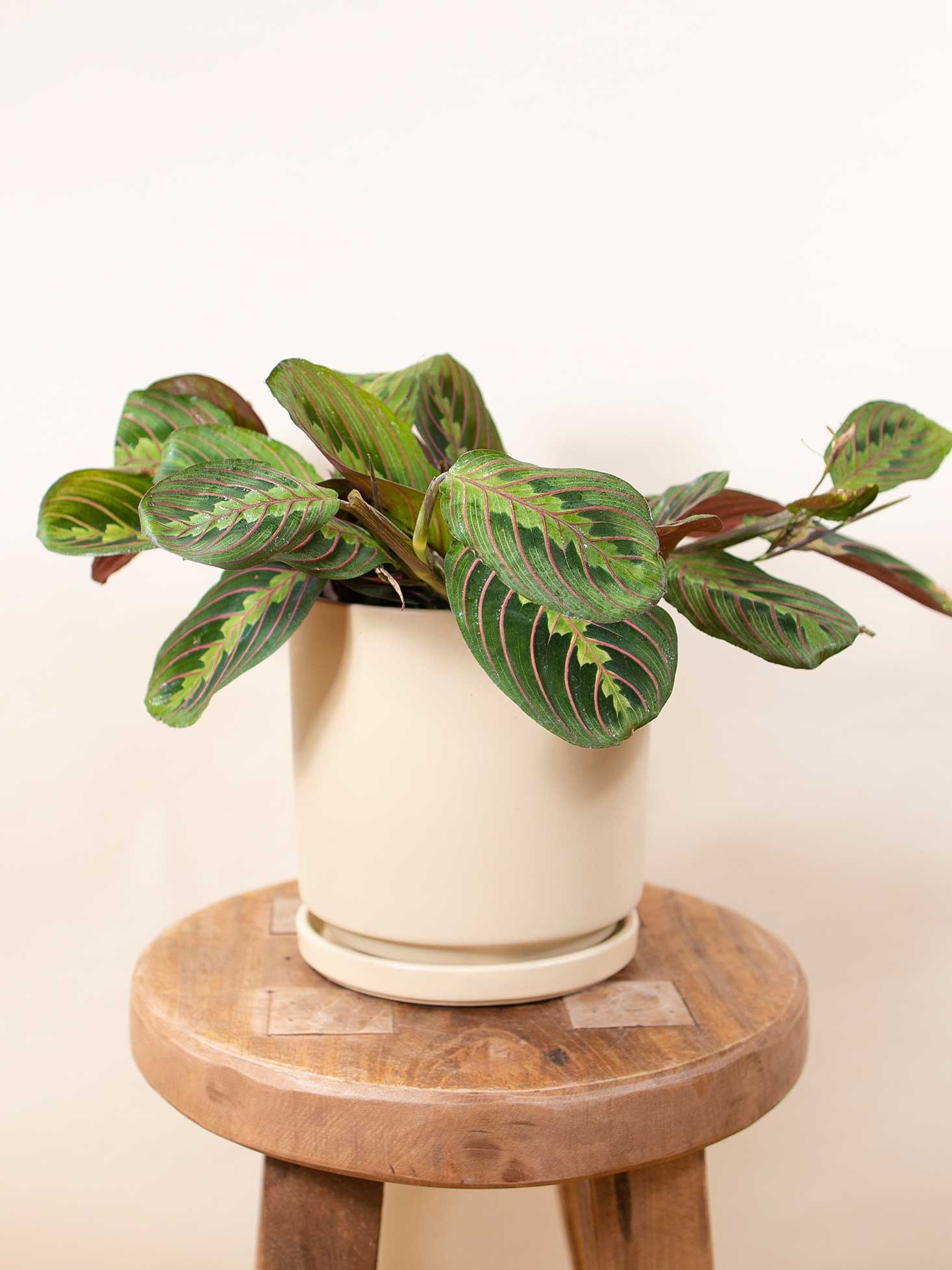 Red prayer plant on a stool