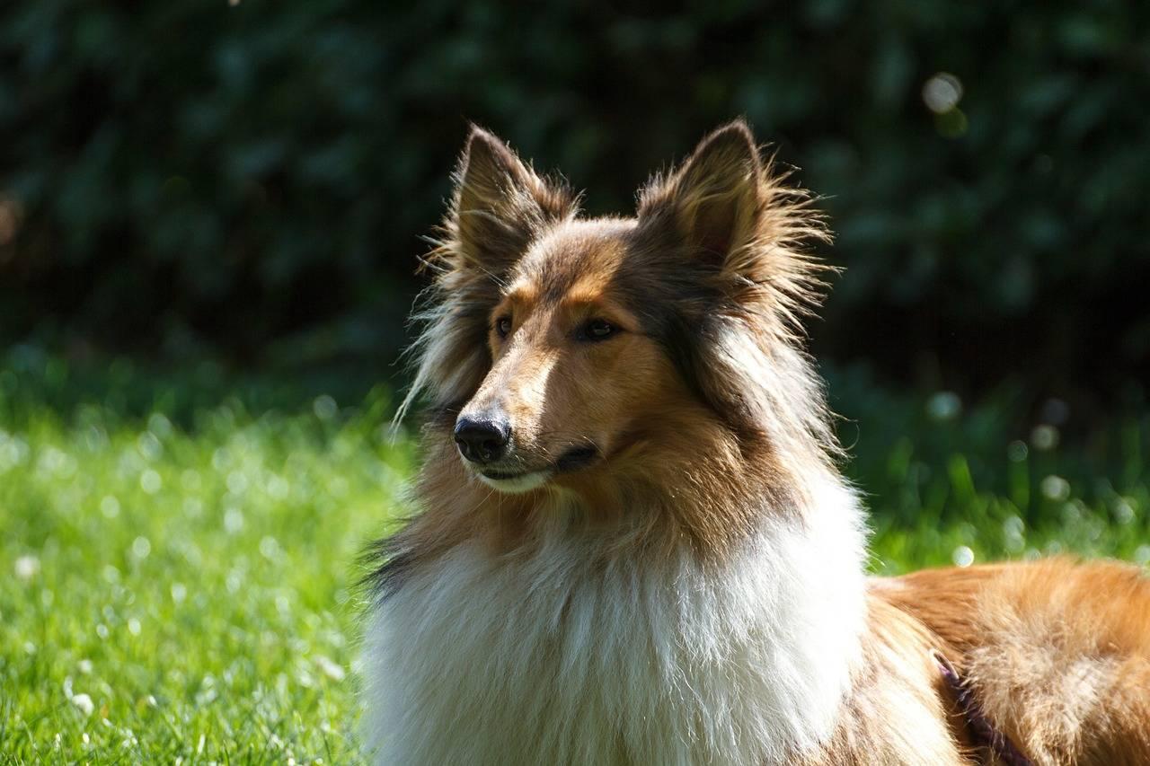 Gebärmutterentzündung kommt bei einigen Hunderassen häufiger vor - wie z. B. beim Collie