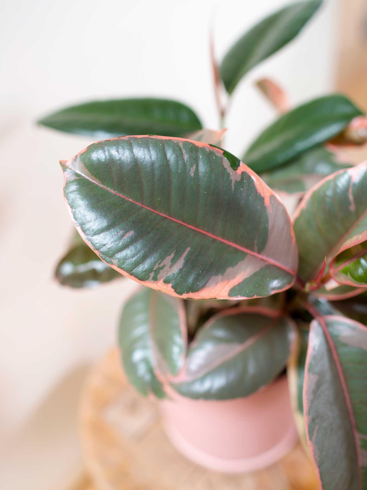 Ruby rubber tree leaf