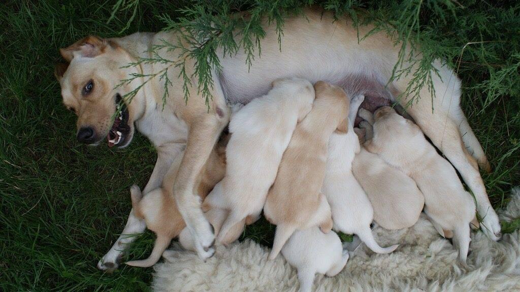 Welpen saugen von der Hundemutter