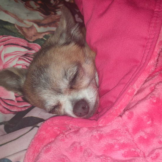 Sensory minky weighted blanket for an extra-small dog