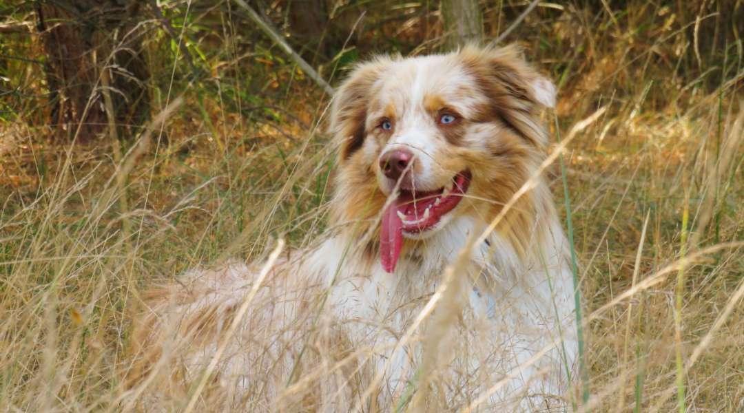 merle faktor hund - australian shepherd