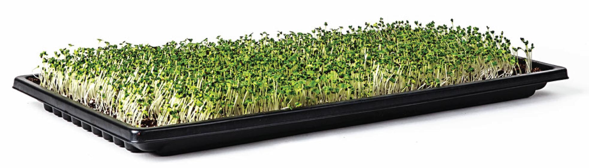 Grown Microgreens in Tray