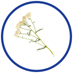 Yarrow for Pain Relief