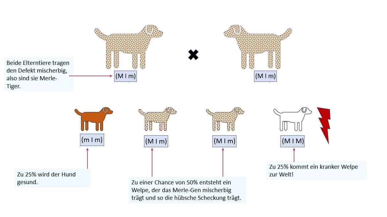 Grafik: Vererbung des Merle-Gendefekts zwischen zwei mischerbigen Hunden