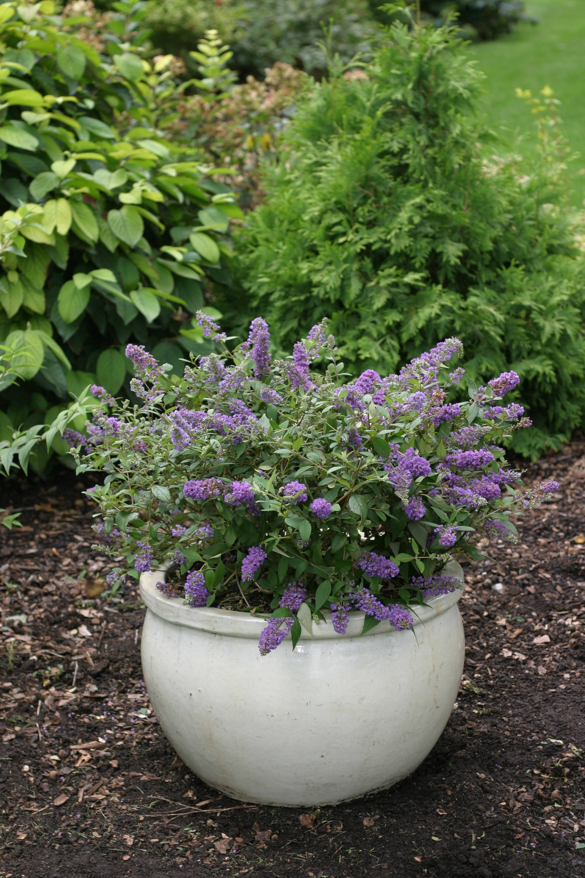 Lo & Behold Blue Chip Junior butterfly bush in a pot