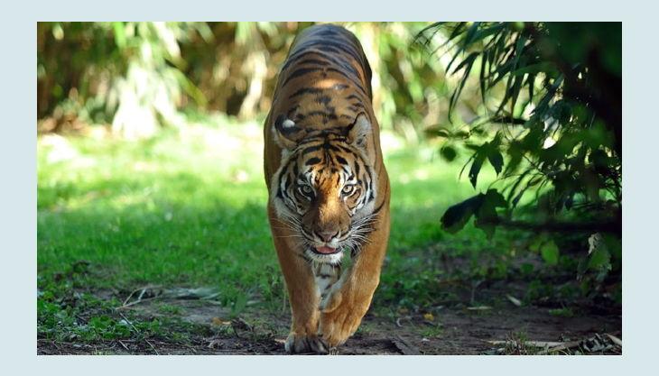 zoo krefeld sumatra tiger