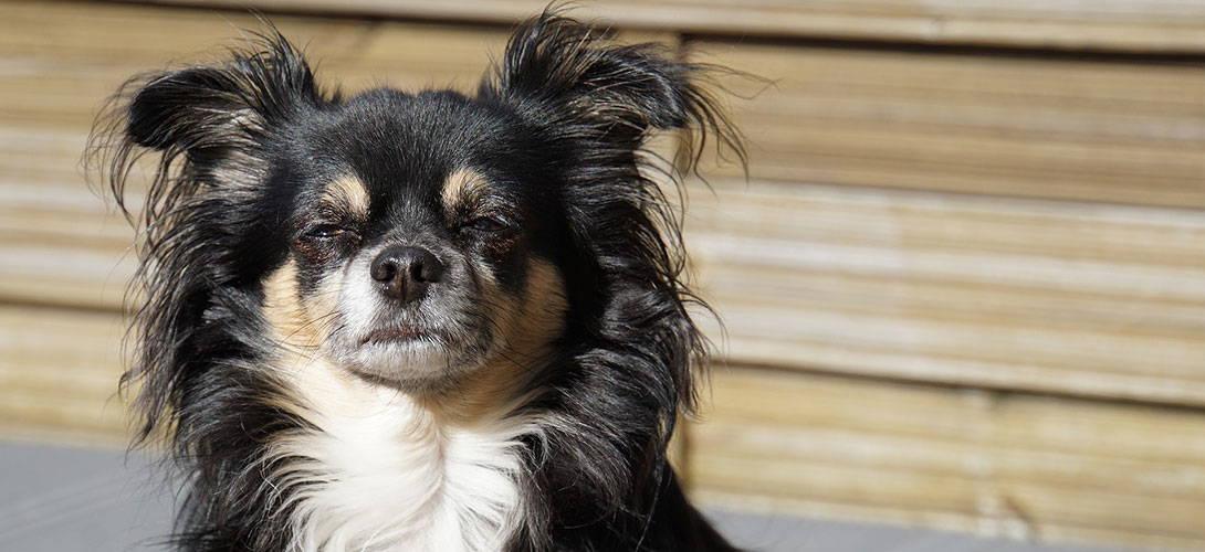 Rückwärtsniesen Beim Hund Reverse Sneezing