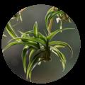 chlorophytum borivilianum herbal | dendera naturally