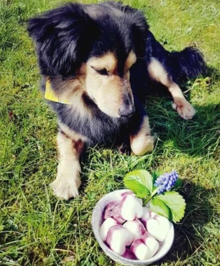 Rezept für Hunde Eis
