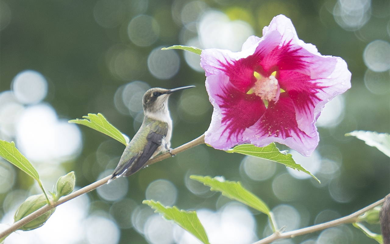 Hummingbird on a branch next to a pink hibiscus flower