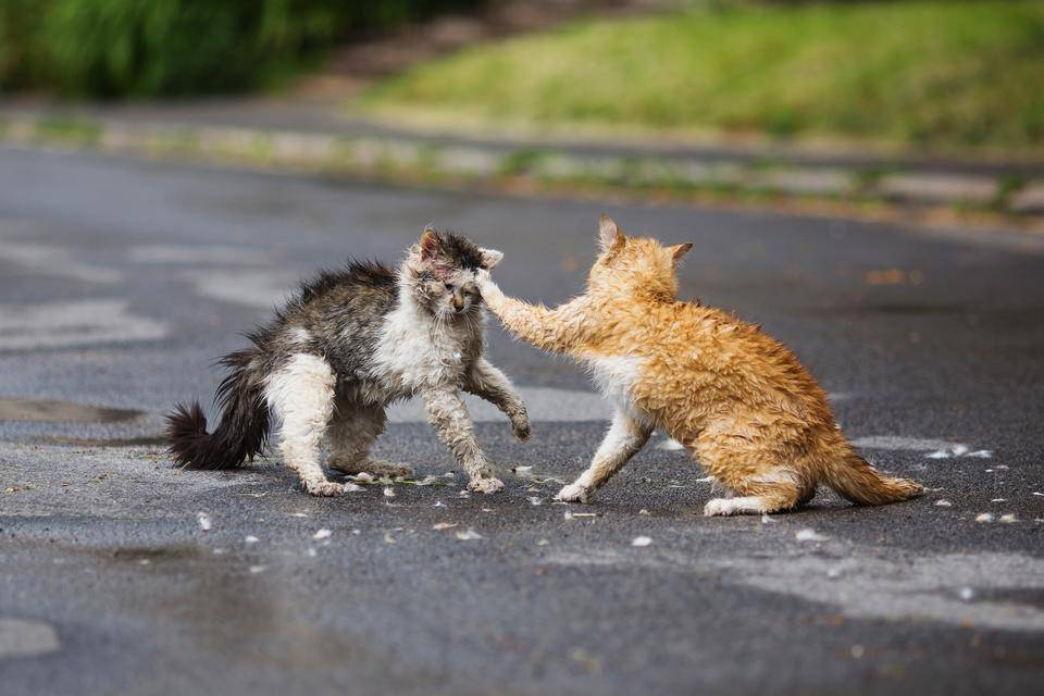 Outdoor cat dangers, cat fight, feral cats, cat fence