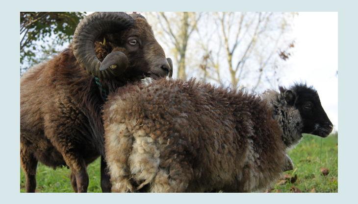 schapaka