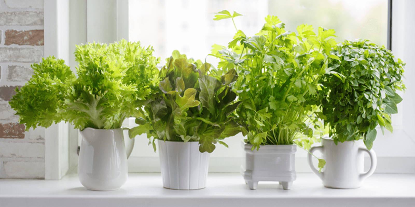 Herbs growing in a windowsill.