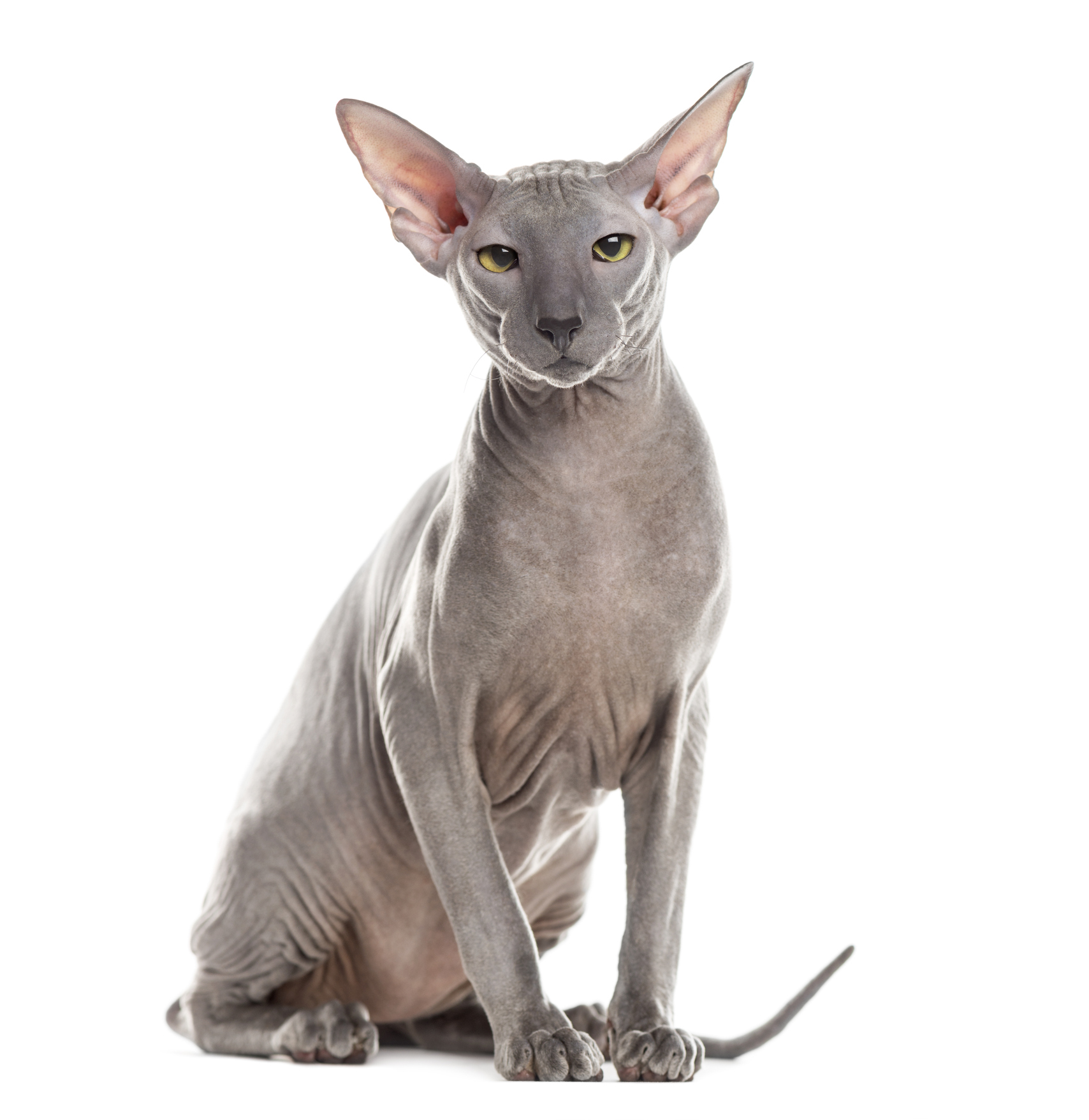 Outros gatos sem pelo