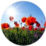Organic & Wild field of poppies