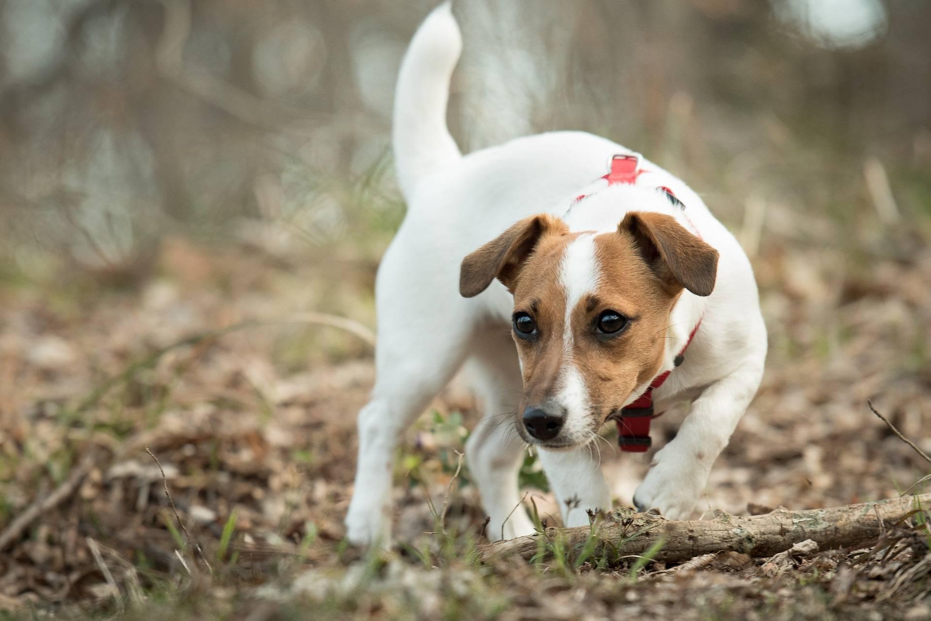 Der Jack Russel Terrier ist ein flinker Jagdhund