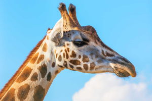 Meet a friendly giant at the Giraffe centre for a group