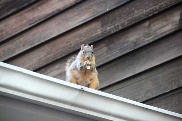 Removing And Keeping Squirrels Out Of Your Chimney Barnhill Chimney