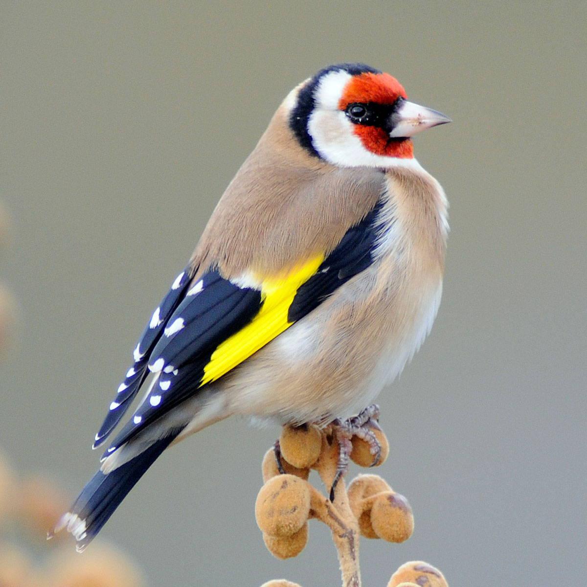 Topflite premium bird feed for goldfinch