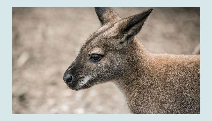 rolfs streichelzoo känguru