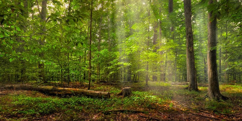 Panoramic LDS art picture of the Sacred Grove with light shining through the trees.