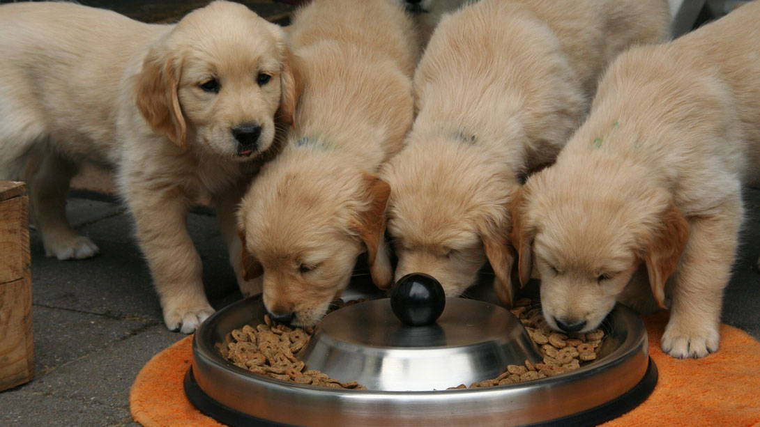 Hunde erbrechen, nachdem sie zu viel fressen