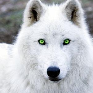 wolfenlord Avatar