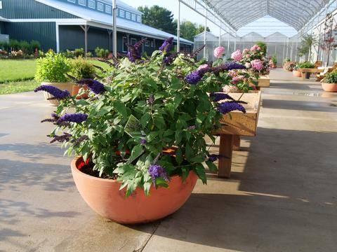 Blue butterfly bush in a pot in the sun