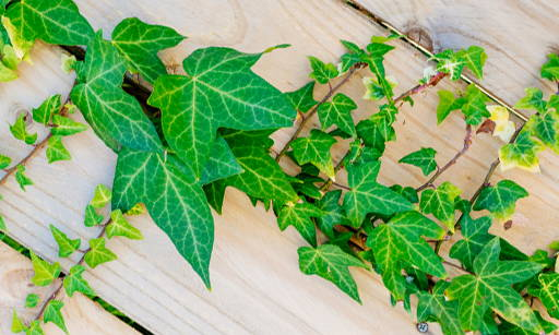 Ivy Extract Contains many valuable active ingredients: flavonoids, saponins, tannins, organic