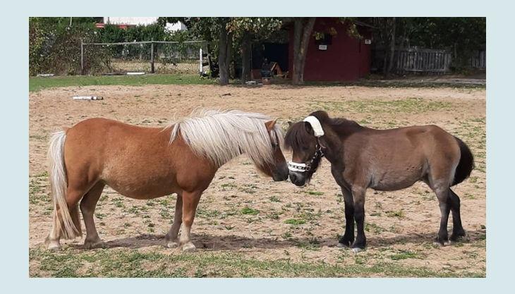 iris brosen zwei ponys gegenüber