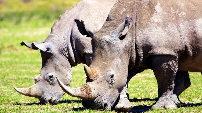 Rhinos grazing on the grass