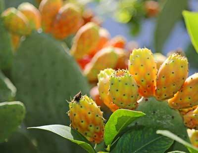 Prickly pear , cactus pear, Barbary fig