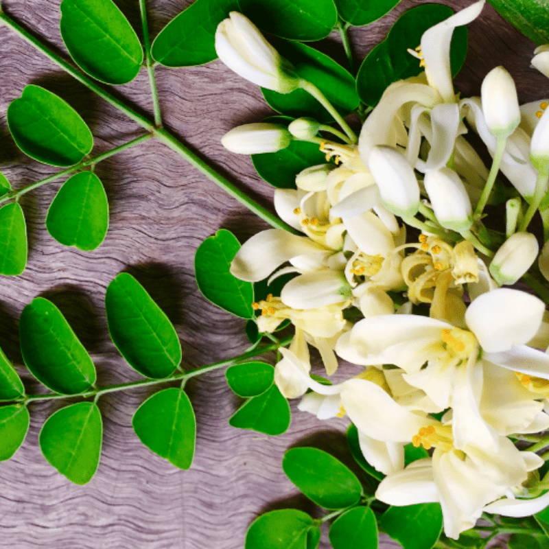 Feuille fleurs Moringa